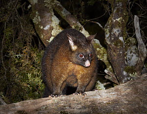 Common Brush-tailed Possum (Trichosurus vulpecula) at night, Cradle Mountain-Lake Saint Clair National Park, Tasmania, Australia  -  Martin Willis