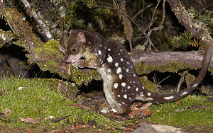 Spotted-tailed Quoll (Dasyurus maculatus) foraging at night, Cradle Mountain-Lake Saint Clair National Park, Tasmania, Australia  -  Martin Willis