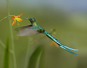Long-tailed Sylph (Aglaiocercus kingi) feeding on flower nectar, Jurong Bird Park, Singapore  -  Tim Fitzharris