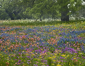 Paintbrush (Castilleja sp), Phlox (Phlox sp), Lupines (Lupinus sp), and poppies, Texas  -  Tim Fitzharris