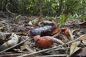 Christmas Island Red Crab (Gecarcoidea natalis) and Blue Crab (Discoplax hirtipes) carcasses, death caused by Yellow Crazy Ants (Anoplolepis gracilipes), Christmas Island National Park, Christmas Isla... - Stephen Belcher