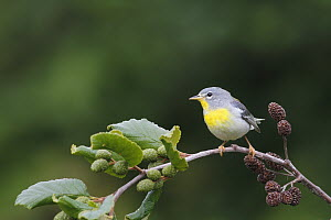 Northern Parula (Setophaga americana) female, Canada  -  Scott Leslie