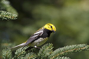 Black-throated Green Warbler (Setophaga virens) male in breeding plumage, Canada  -  Scott Leslie