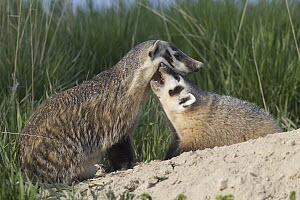 American Badger (Taxidea taxus) mother with kit, National Bison Range, Moise, Montana  -  Donald M. Jones