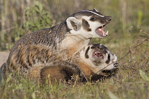 American Badger (Taxidea taxus) mother playing with kit, National Bison Range, Moise, Montana  -  Donald M. Jones