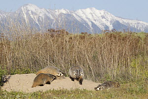 American Badger (Taxidea taxus) mother with kits at den, National Bison Range, Moise, Montana  -  Donald M. Jones