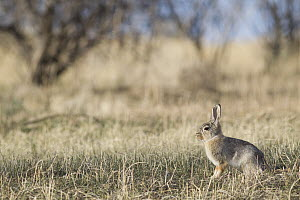 Desert Cottontail (Sylvilagus audubonii), UL Bend National Wildlife Refuge, north-central Montana - Donald M. Jones