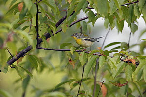 Northern Parula (Setophaga americana) in autumn, Canada  -  Scott Leslie