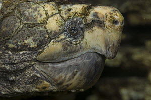 Alligator Snapping Turtle (Macrochelys temminckii), native to North America  -  ZSSD