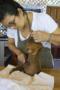 Hoffmann's Two-toed Sloth (Choloepus hoffmanni) with caretaker, Xinia Villegas, brushing orphaned baby, Aviarios Sloth Sanctuary, Costa Rica - Suzi Eszterhas