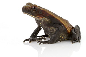 Smooth-sided Toad (Bufo guttatus), Suriname  -  Piotr Naskrecki