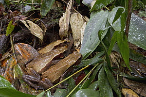 Smooth-sided Toad (Bufo guttatus) trio hunting termites after the rain, Suriname  -  Piotr Naskrecki