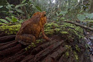 Crested Forest Toad (Bufo margaritifer)on rainforest floor, Suriname  -  Piotr Naskrecki