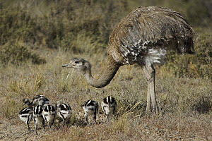 Lesser Rhea (Rhea pennata) father and chicks, Valdes Peninsula, Argentina - Hiroya Minakuchi