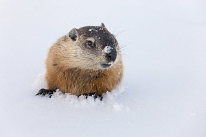 Woodchuck (Marmota monax) emerging from snow after hibernation in its burrow, Minnesota  -  Ingo Arndt