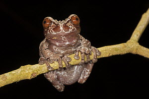 Crowned Frog (Anotheca spinosa) in cloud forest, Costa Rica  -  Ingo Arndt