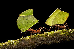 Leafcutter Ant (Atta sp) pair carrying sections of leaves, to be used for cultivating nutritious fungi, Costa Rica  -  Ingo Arndt