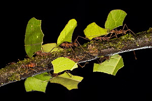 Leafcutter Ant (Atta sp) group carrying sections of leaves, to be used for cultivating nutritious fungi, Costa Rica  -  Ingo Arndt