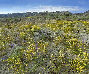 Mexican Golden Poppy (Eschscholzia glyptosperma) flowers, Joshua Tree National Park, California - Tim Fitzharris