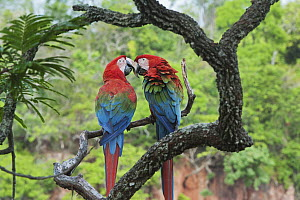 Red and Green Macaw (Ara chloroptera) pair courting, Buraco das Araras, Mato Grosso do Sul, Pantanal, Brazil  -  Kevin Schafer