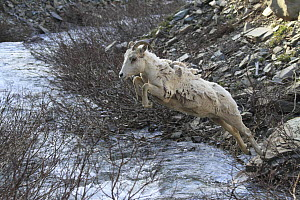 Bighorn Sheep (Ovis canadensis) ewe crossing creek, Glacier National Park, Montana  -  Sumio Harada