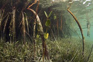 Mangrove (Rhizophoraceae) and Eelgrass (Zostera sp) filter out sediment, Bahamas, Caribbean  -  Norbert Wu
