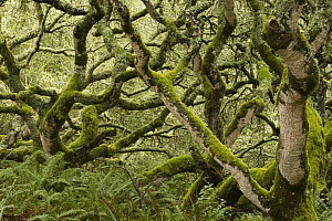 Coast Live Oak (Quercus agrifolia) trees and Sword Ferns (Polystichum munitum) in mixed evergreen forest, Point Reyes National Seashore, California  -  Sebastian Kennerknecht