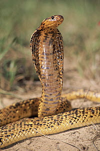 Cape Cobra (Naja nivea) speckled morph, in defensive display, showcasing hood threat, Africa  -  Michael & Patricia Fogden