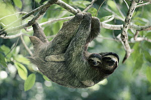 Brown-throated Three-toed Sloth (Bradypus variegatus) female and baby, rainforest, Panama  -  Michael & Patricia Fogden