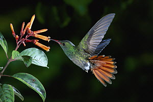 Rufous-tailed Hummingbird (Amazilia tzacatl) feeding on Hamelia flowers, Costa Rica - Michael & Patricia Fogden