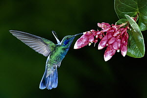 Green Violet-ear (Colibri thalassinus) hummingbird feeding on Heath (Cavendishia complectens) flowers, cloud forest, Costa Rica  -  Michael & Patricia Fogden
