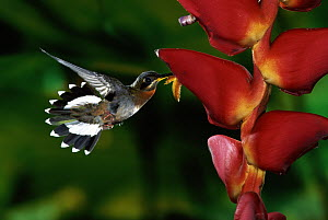 Band-tailed Barbthroat (Threnetes ruckeri) hummingbird, male feeding and pollinating Heliconia (Heliconia pogonantha) flowers, rainforests, Costa Rica - Michael & Patricia Fogden