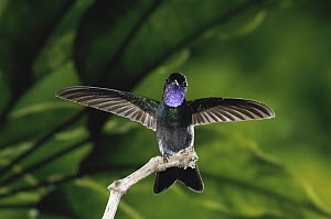 Purple-throated Mountain-gem (Lampornis calolaemus) hummingbird male perching with wings spread, Monteverde Cloud Forest Reserve, Costa Rica  -  Michael & Patricia Fogden