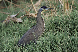 Bare-throated Tiger Heron (Tigrisoma mexicanum) in swampy mangroves, lives in wooded streams, swamps, and mangroves, Central America  -  Michael & Patricia Fogden