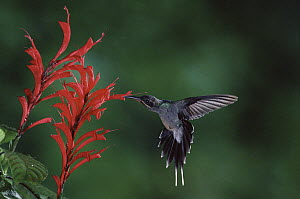 Green Hermit (Phaethornis guy) hummingbird feeding on and pollinating Desconocido flowers (Razisea spicata) in cloud forest, Costa Rica - Michael & Patricia Fogden