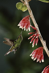 Coppery-headed Emerald (Elvira cupreiceps) hummingbird, male feeding on and pollinating Heath (Satyria warszewiczii) flowers, in cloud forest, Costa Rica  -  Michael & Patricia Fogden