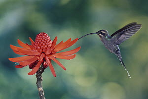 Green Hermit (Phaethornis guy) hummingbird feeding on and pollinating Coral Tree (Erythrina sp) flowers, Monteverde Cloud Forest Reserve, Costa Rica - Michael & Patricia Fogden