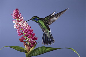 Green Violet-ear (Colibri thalassinus) hummingbird feeding, pollinating epiphytic orchid flower, cloud forest ecosystem, Costa Rica  -  Michael & Patricia Fogden