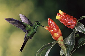 Green-crowned Brilliant (Heliodoxa jacula) hummingbird feeding and pollinating Spiral Flag (Costus sp) ginger flowers, Monteverde Cloud Forest Reserve, Costa Rica  -  Michael & Patricia Fogden