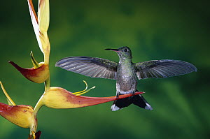 Scaly-breasted Hummingbird (Phaeochroa cuvierii) near a Heliconia flower (Heliconia latispatha) in rainforest, Costa Rica - Michael & Patricia Fogden