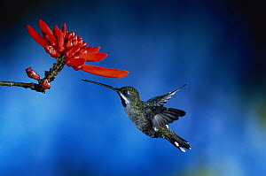 Long-billed Starthroat (Heliomaster longirostris) hummingbird flying near Coral Tree (Erythrina sp) flowers, rainforest, Costa Rica  -  Michael & Patricia Fogden