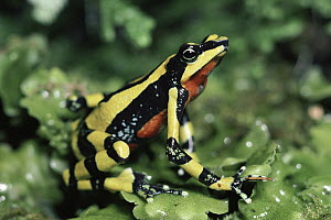 Harlequin Frog (Atelopus varius) displaying colorful warning colors, cloud forest, Costa Rica  -  Michael & Patricia Fogden