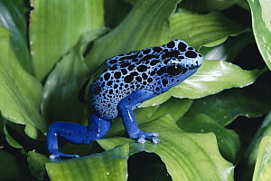 Blue Poison Dart Frog (Dendrobates azureus) very tiny frog used by Indian tribes to poison tips of arrows, native to South America - Michael & Patricia Fogden