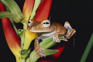 Map Treefrog (Hyla geographica) on Heliconia, in rainforest, Costa Rica - Michael & Patricia Fogden