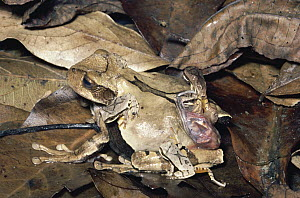 Marsupial Frog (Gastrotheca ovifera) female releasing 37 froglets from pouch, cloud forest, Venezuela - Michael & Patricia Fogden