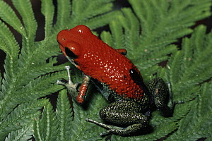 Granular Poison Dart Frog (Dendrobates granuliferus) female carrying tadpole, rainforest, Costa Rica  -  Michael & Patricia Fogden