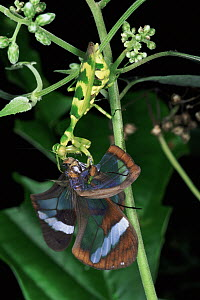 Flower Mantid predating Ithomid butterfly, rainforest, La Selva Biological Research Station, Costa Rica  -  Michael & Patricia Fogden