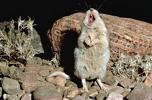 Southern Grasshopper Mouse (Onychomys torridus) male singing on its territory, Chihuahua Desert, Mexico - Michael & Patricia Fogden