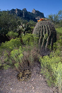 Black-tailed Rattlesnake (Crotalus molossus) coiled near cactus, Chiricahua Mountains, Arizona - Michael & Patricia Fogden