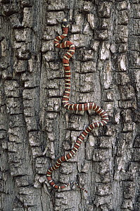 Arizona Mountain King Snake (Lampropeltis pyromelana) climbing tree, Chiricahua Mountains, Arizona  -  Michael & Patricia Fogden